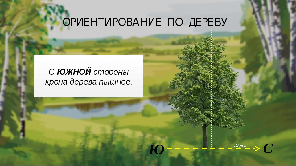 ОРИЕНТИРОВАНИЕ ПО ДЕРЕВУ С Ю С ЮЖНОЙ стороны крона дерева пышнее.