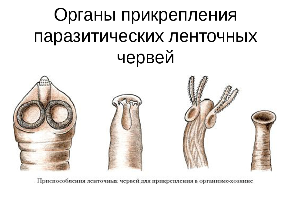 Органы прикрепления паразитических ленточных червей