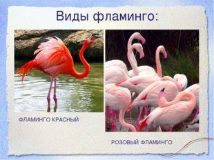 Виды фламинго: ФЛАМИНГО КРАСНЫЙ РОЗОВЫЙ ФЛАМИНГО