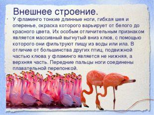 У фламинго тонкие длинные ноги, гибкая шея и оперенье, окраска которого варьи