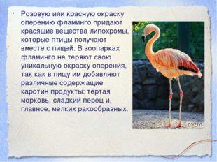 Розовую или красную окраску оперению фламинго придают красящие вещества липох