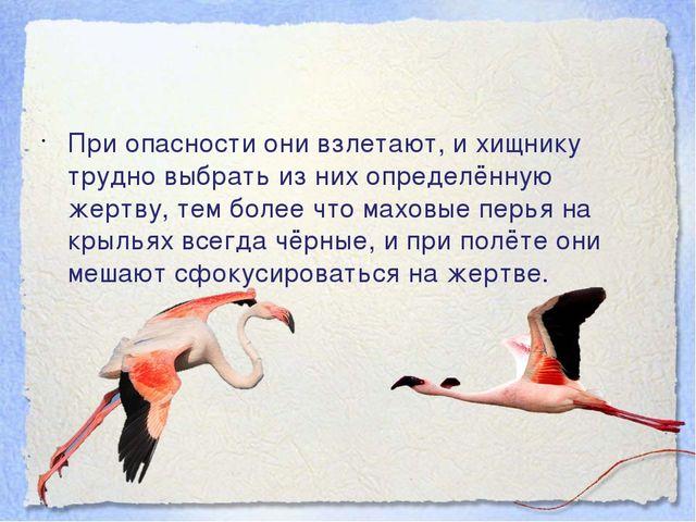 При опасности они взлетают, и хищнику трудно выбрать из них определённую жер...