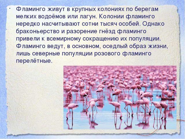 Фламинго живут в крупных колониях по берегам мелких водоёмов или лагун. Колон...