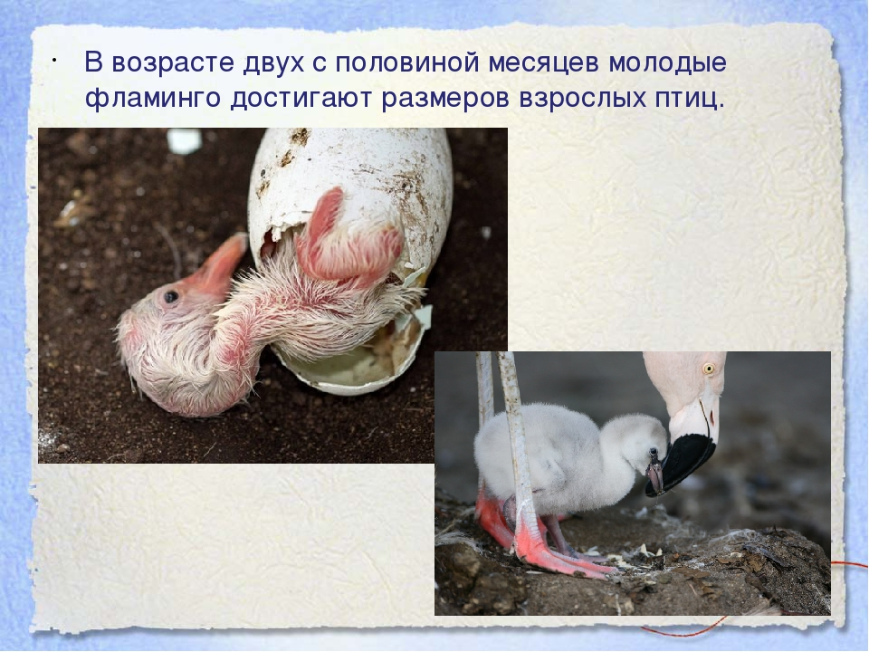 В возрасте двух с половиной месяцев молодые фламинго достигают размеров взрос...