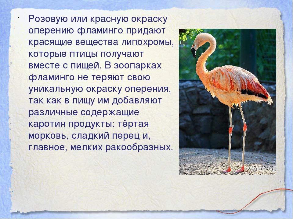 Розовую или красную окраску оперению фламинго придают красящие вещества липох...