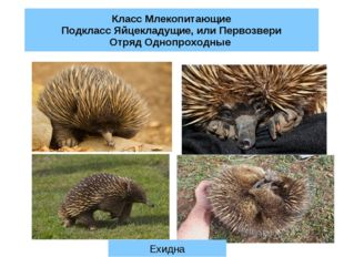 Класс Млекопитающие Подкласс Яйцекладущие, или Первозвери Отряд Однопроходные