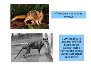 Сумчатая кошка или куница Сумчатый волк (тасманийский волк), из-за завезенной