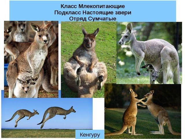 Класс Млекопитающие Подкласс Настоящие звери Отряд Сумчатые Кенгуру