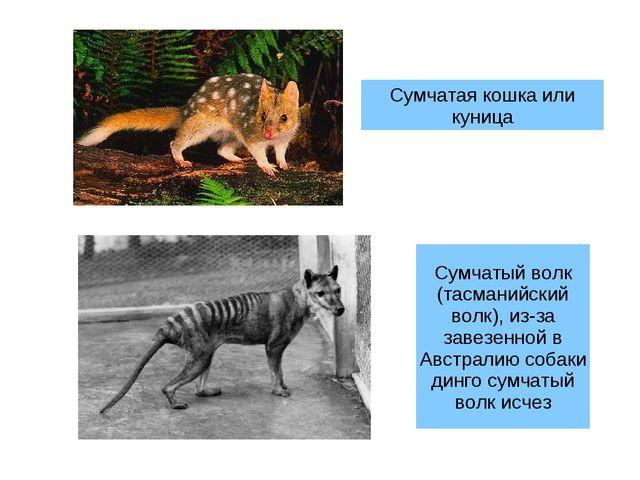 Сумчатая кошка или куница Сумчатый волк (тасманийский волк), из-за завезенной...