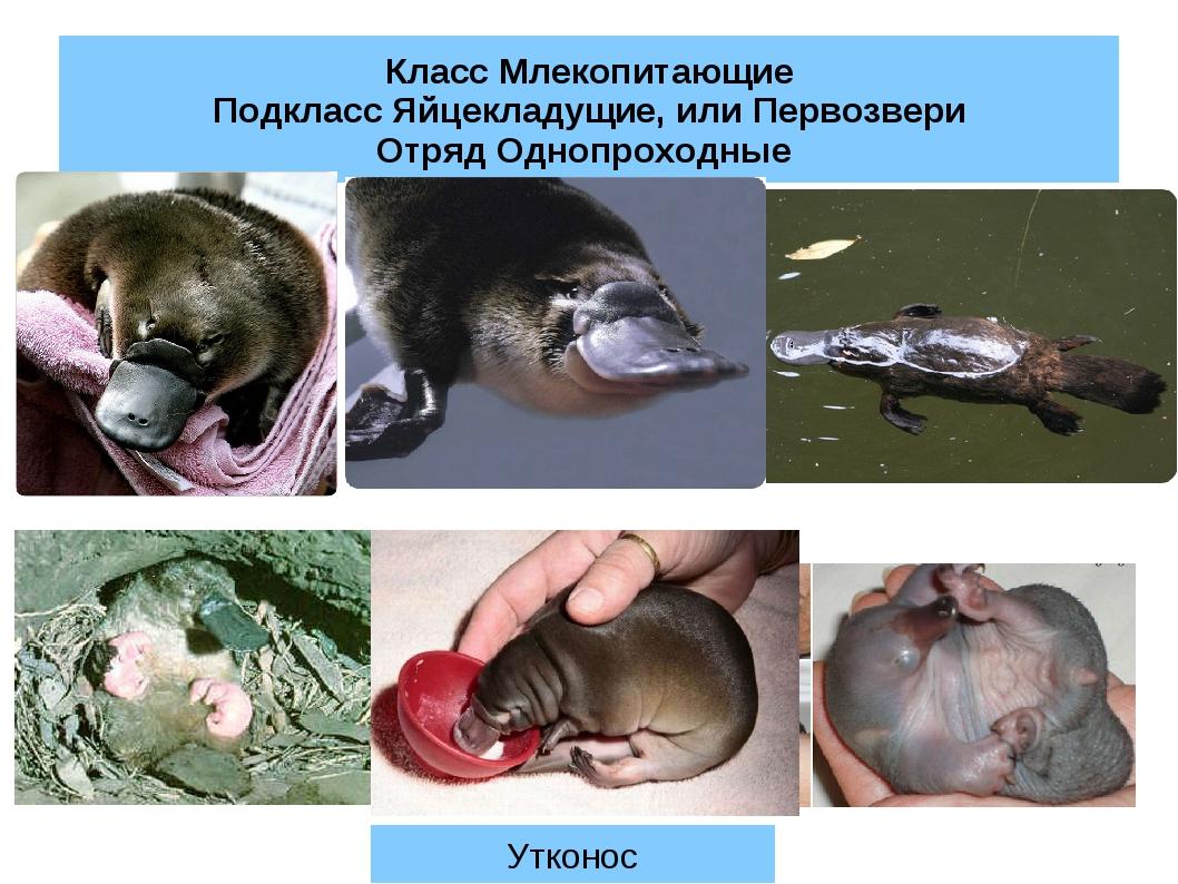 Класс Млекопитающие Подкласс Яйцекладущие, или Первозвери Отряд Однопроходные...