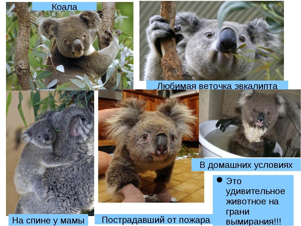 Это удивительное животное на грани вымирания!!! Коала На спине у мамы Любимая...