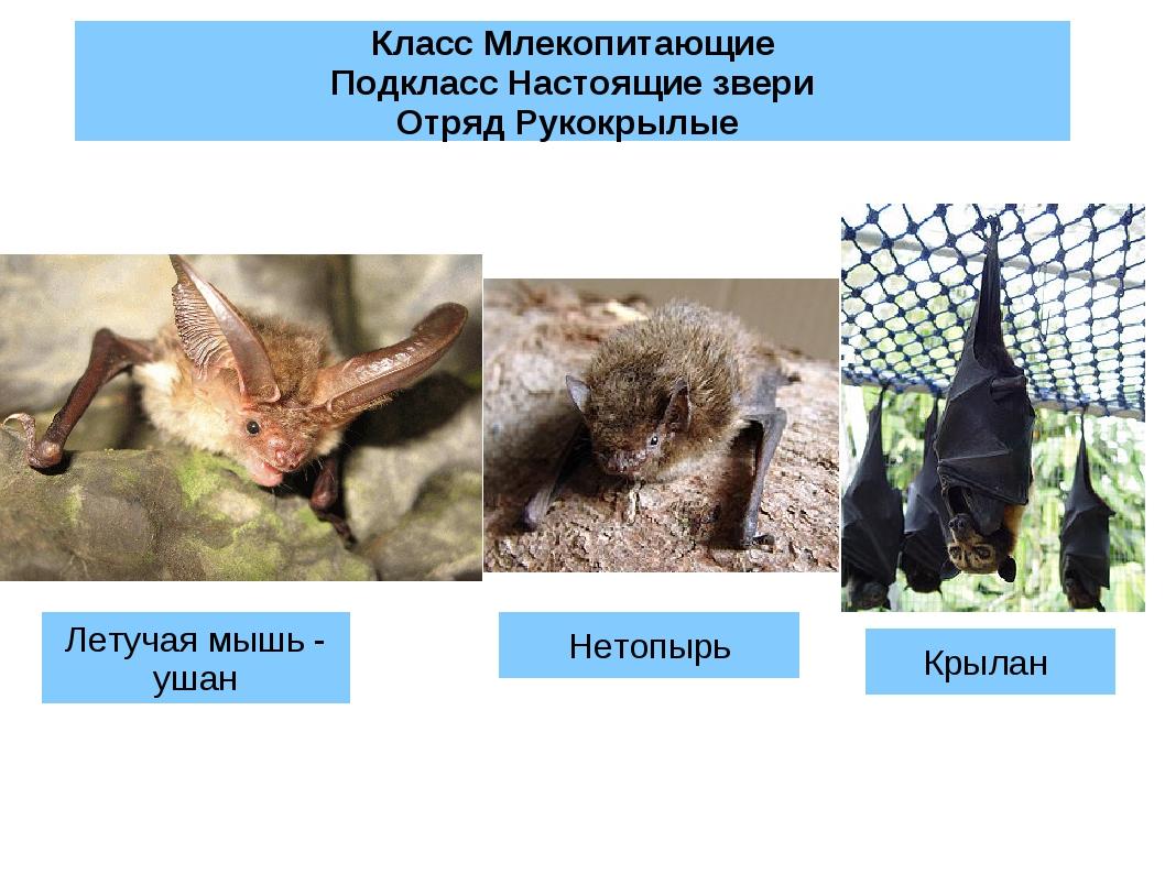Класс Млекопитающие Подкласс Настоящие звери Отряд Рукокрылые Летучая мышь -...