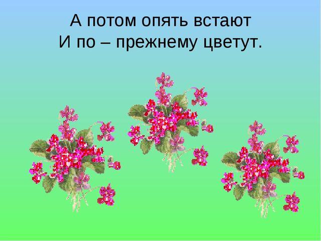 А потом опять встают И по – прежнему цветут.