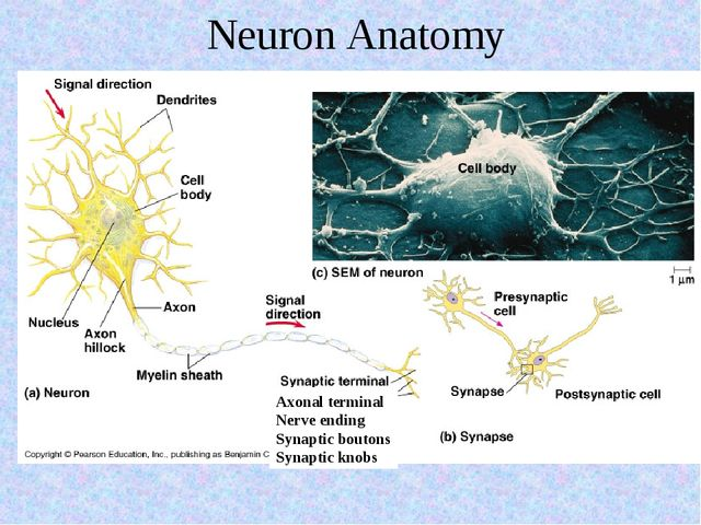 Neuron Anatomy Axonal terminal Nerve ending Synaptic boutons Synaptic knobs