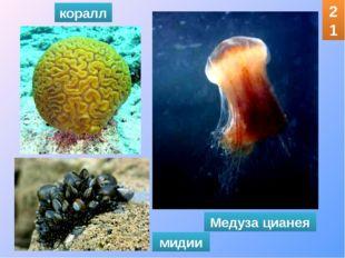 коралл мидии Медуза цианея 21