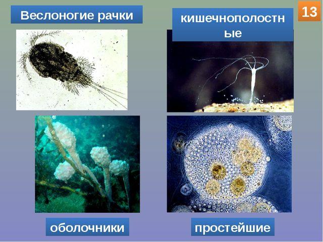 оболочники Веслоногие рачки кишечнополостные простейшие 13