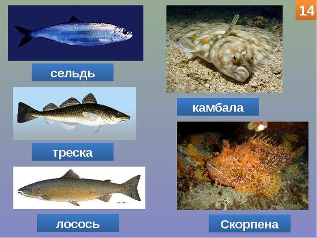 сельдь треска лосось Скорпена камбала 14