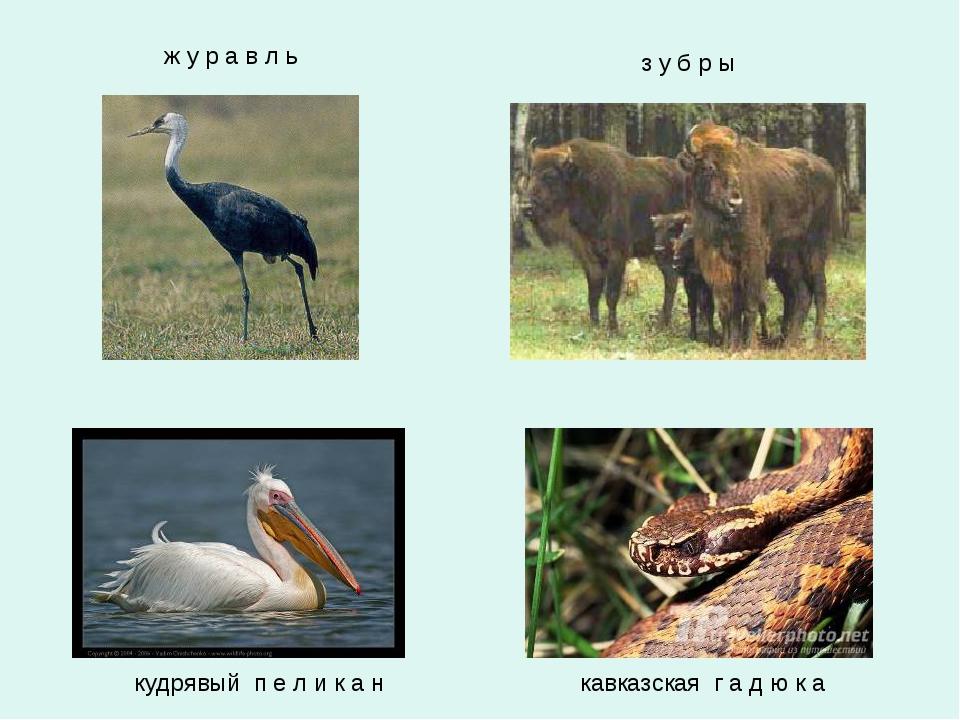 кавказская г а д ю к а кудрявый п е л и к а н з у б р ы ж у р а в л ь
