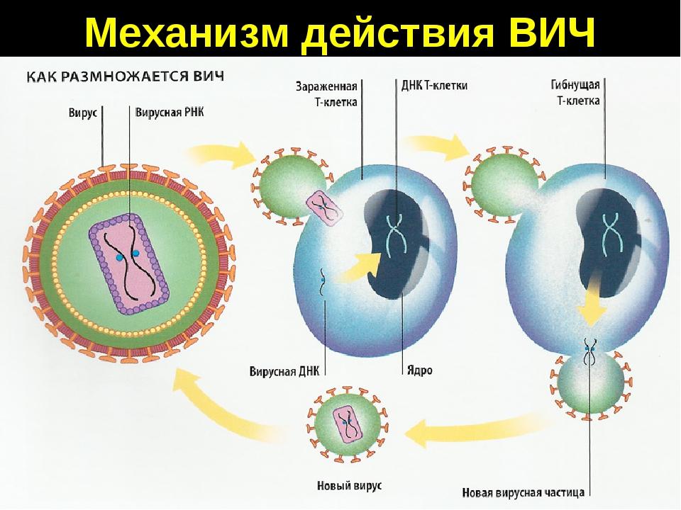 Механизм действия ВИЧ