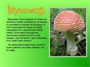 Мухомор очень красив. К старости шляпка у гриба загибается по краям и станов