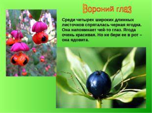 Среди четырех широких длинных листочков спряталась черная ягодка. Она напомин