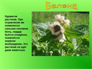 Ядовитое растение. При отравлении им появляется сильная головная боль, сердце