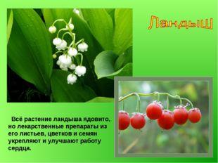 Всё растение ландыша ядовито, но лекарственные препараты из его листьев, цве