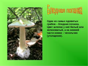Один из самых ядовитых грибов – бледная поганка. Цвет шляпки у неё белый или