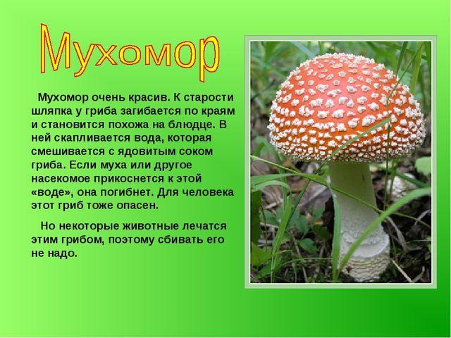 Мухомор очень красив. К старости шляпка у гриба загибается по краям и станов...