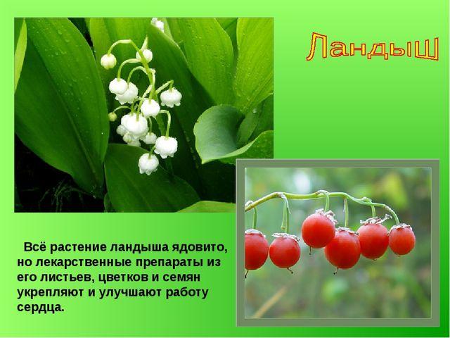Всё растение ландыша ядовито, но лекарственные препараты из его листьев, цве...