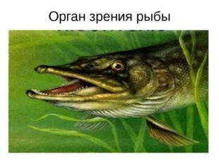 Орган зрения рыбы