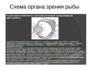 Схема органа зрения рыбы