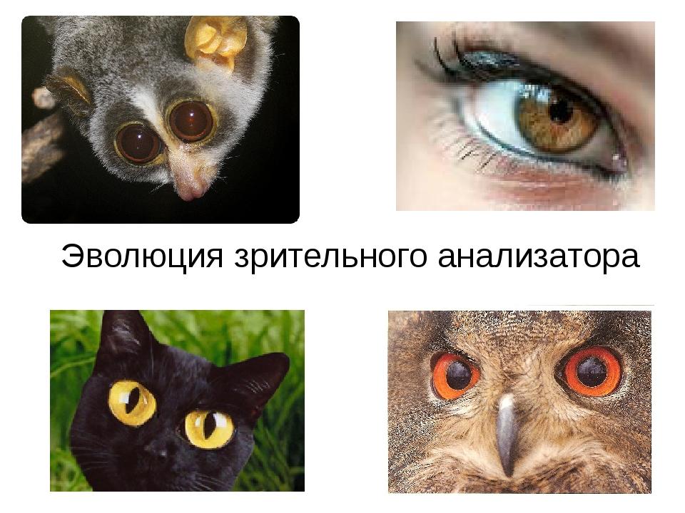 Эволюция зрительного анализатора