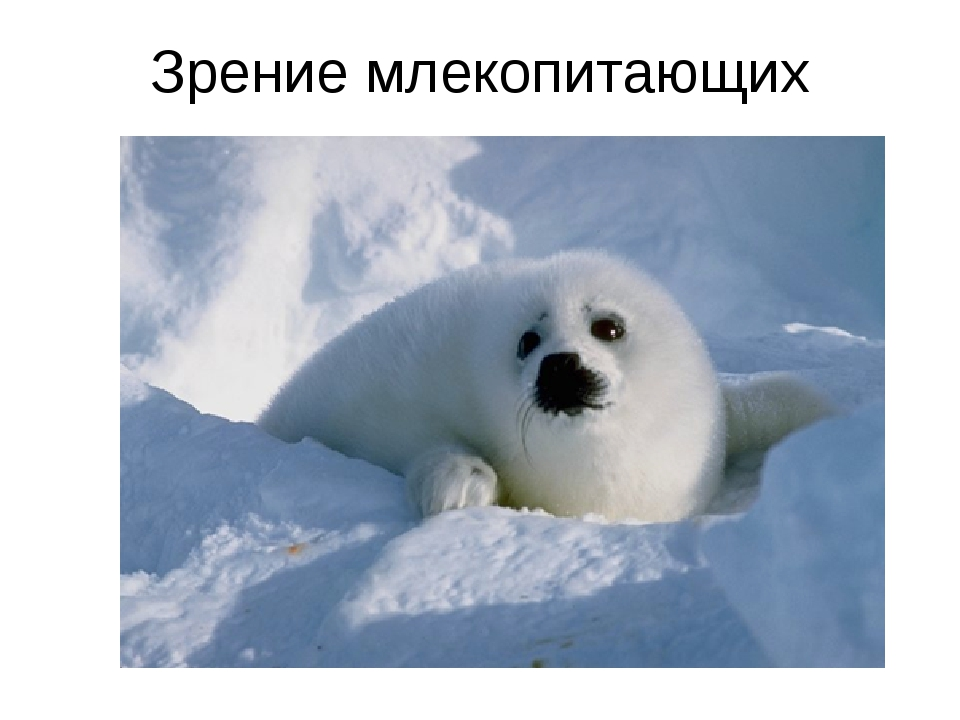 Зрение млекопитающих