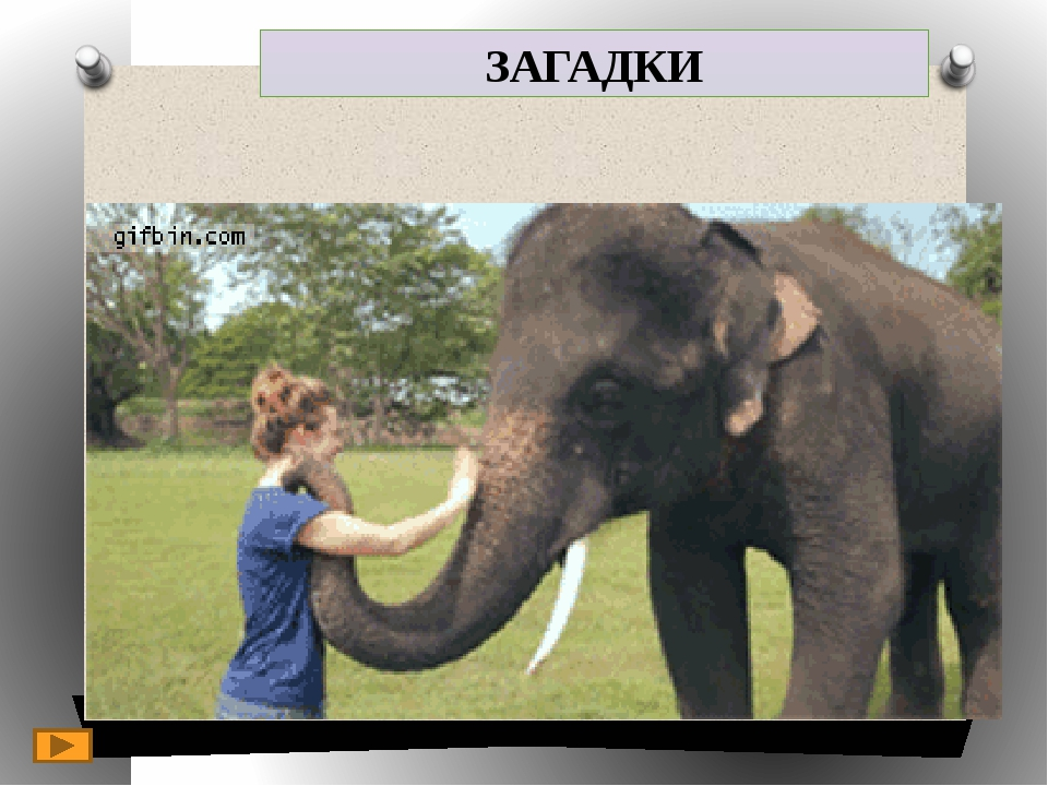 ЗАГАДКИ 5. It is a wild animal. 4. It lives in Africa and Asia. 3. It is grey...