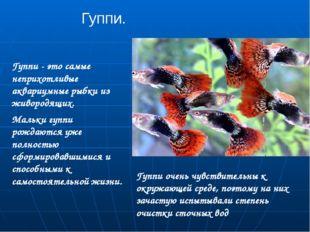 Гуппи. Гуппи - это самые неприхотливые аквариумные рыбки из живородящих. Маль