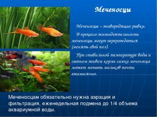 Меченосцы Меченосцы – живородящие рыбки. В процессе жизнедеятельности меченос