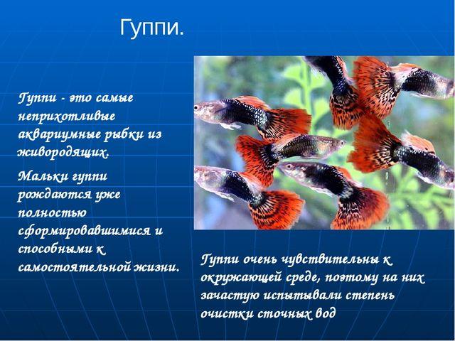 Гуппи. Гуппи - это самые неприхотливые аквариумные рыбки из живородящих. Маль...