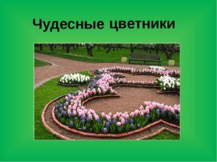 цветники Чудесные