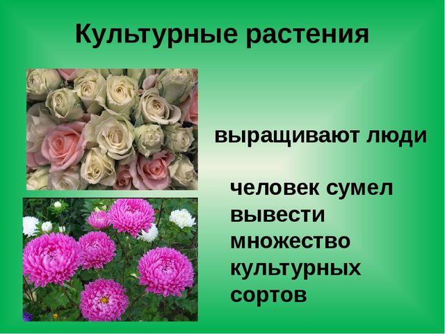 Культурные растения выращивают люди человек сумел вывести множество культурны...