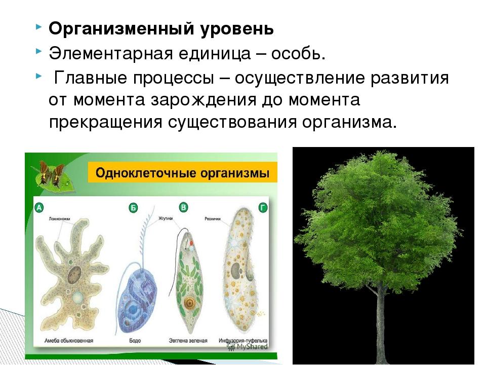 Организменный уровень Элементарная единица – особь. Главные процессы – осущес...