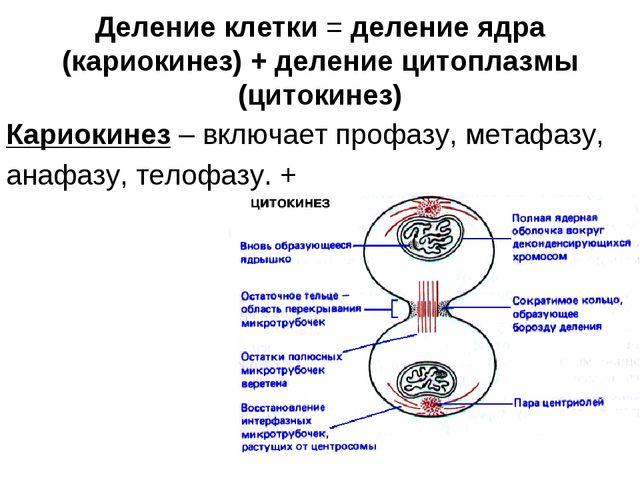 Деление клетки = деление ядра (кариокинез) + деление цитоплазмы (цитокинез) К...