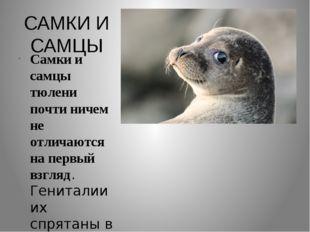 САМКИ И САМЦЫ Самки и самцы тюлени почти ничем не отличаются на первый взгляд