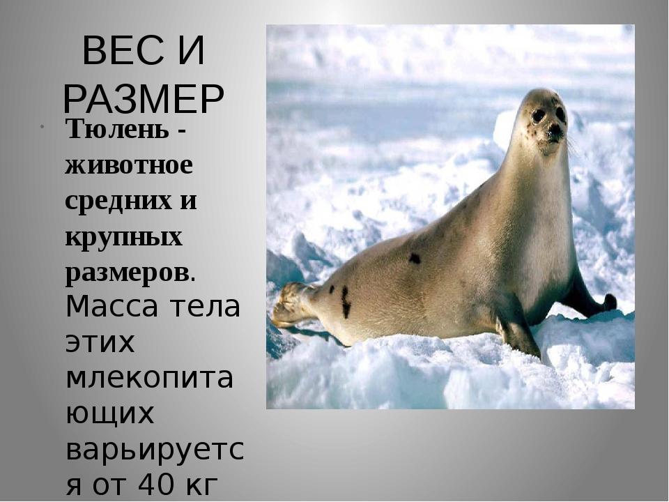ВЕС И РАЗМЕР Тюлень - животное средних и крупных размеров. Масса тела этих мл...