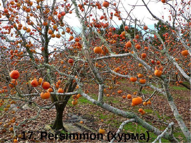 17. Persimmon (хурма)