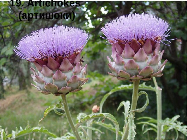 19. Artichokes (артишоки)