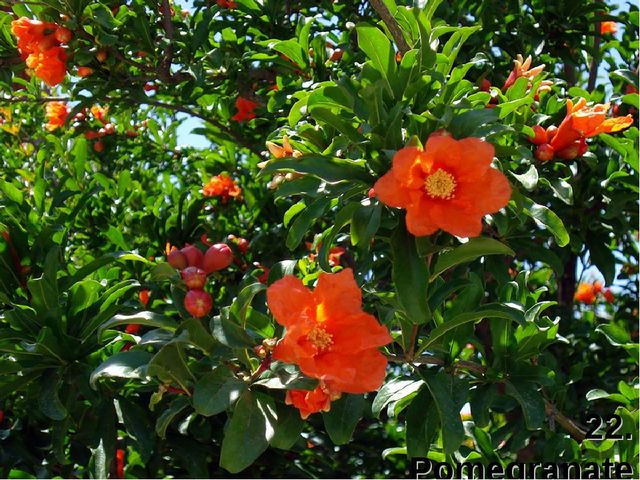 22. Pomegranate (гранат)