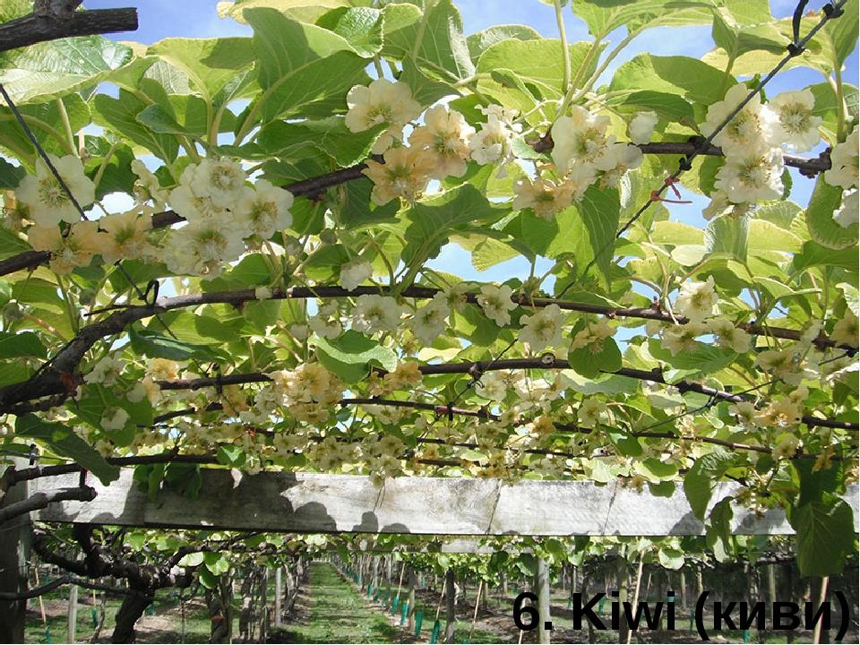 6. Kiwi (киви)