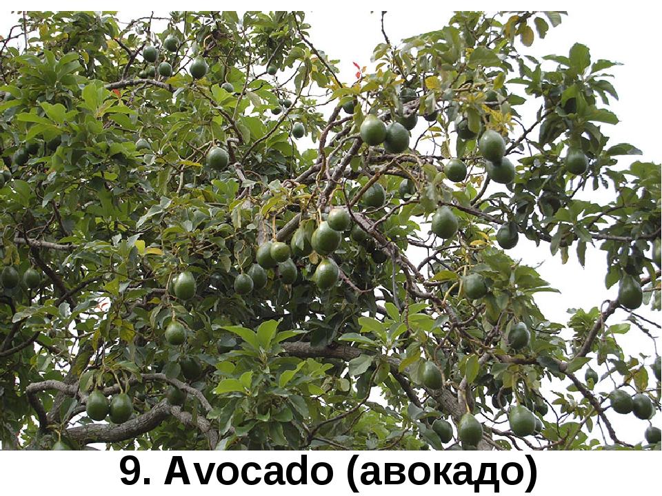9. Avocado (авокадо)