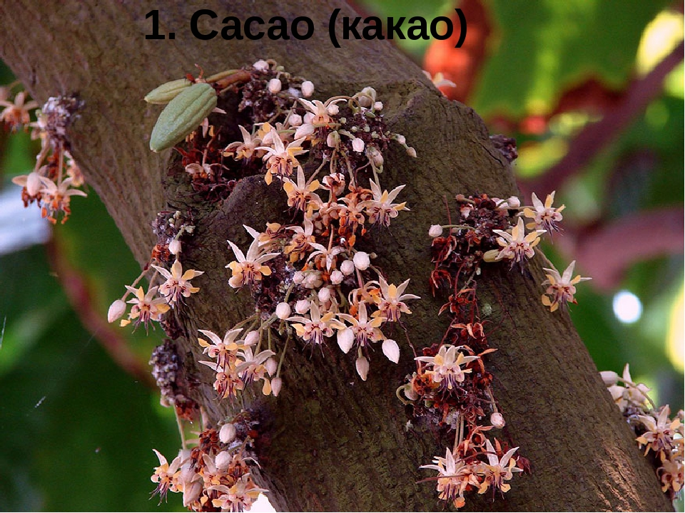 1. Cacao (какао)